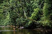 Machiguenga Indian throwing Cast Net<br />Timpia Community<br />Lower Urubamba River.  Amazon Rain Forest. PERU<br />South America