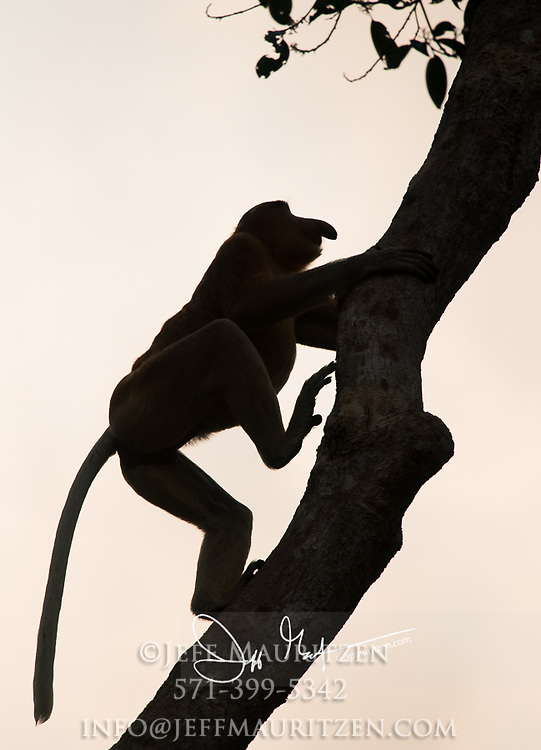 Silhouette of a proboscis monkey climbing a tree in Tanjung Puting National Park on the island of Borneo, Indonesia.
