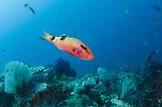 Manybar Goatfish (Parupeneus multifasciatus)<br /> Raja Ampat<br /> West Papua<br /> Indonesia