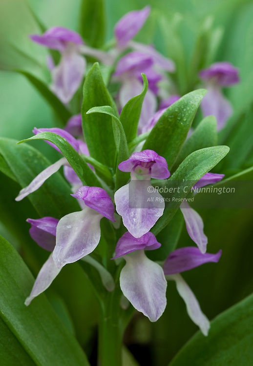 The Showy Orchis (Galearis spectabilis) is a species of orchid  which occurs in an unusually wide range of habitats in the Appalacian mountains