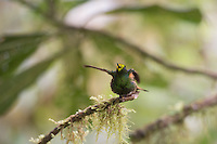Buff-tailed Coronet preening and stretching. From the Tandayapa cloud-forest of Ecuador.