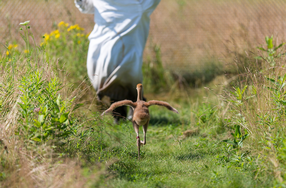 A young Whooping Crane runs after a costumed aviculturist flapping its wings.