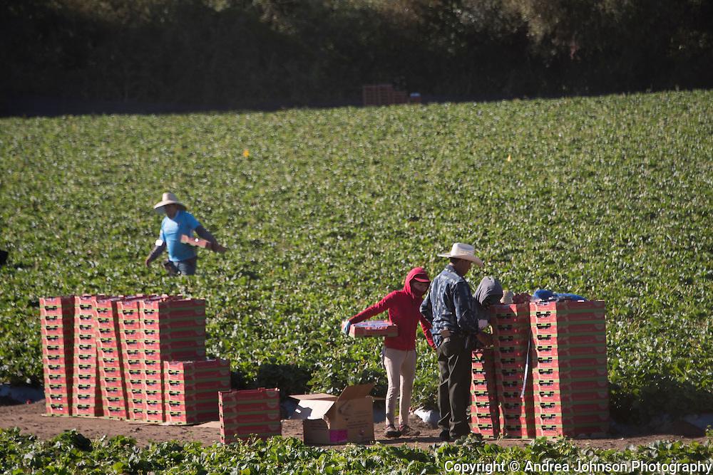 Madison Farms strawberry harvest, Salinas, California