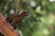 Little Chachalaca (Ortalis motmot)<br /> Wai Wai territory, region 9<br /> Gunns<br /> Konashen<br /> GUYANA<br /> South America<br /> Pet