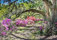 Magnolia Gardens azalas with fence 2014
