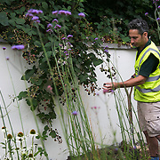 Stephen from Ground Works who implements the gardens picks sweet black berries in the garden at West Hampstead. The garden is ready and now need to grow over the summer.  Energy Gardens is a pan-London community garden project where reclaimed land alongside over ground train stations and track are cultivated by local community groups. Up 50 gardens are projected with the rail network being the connection grid. The project is a collaboration between Repowering London, local community groups and station managers working for TFL.