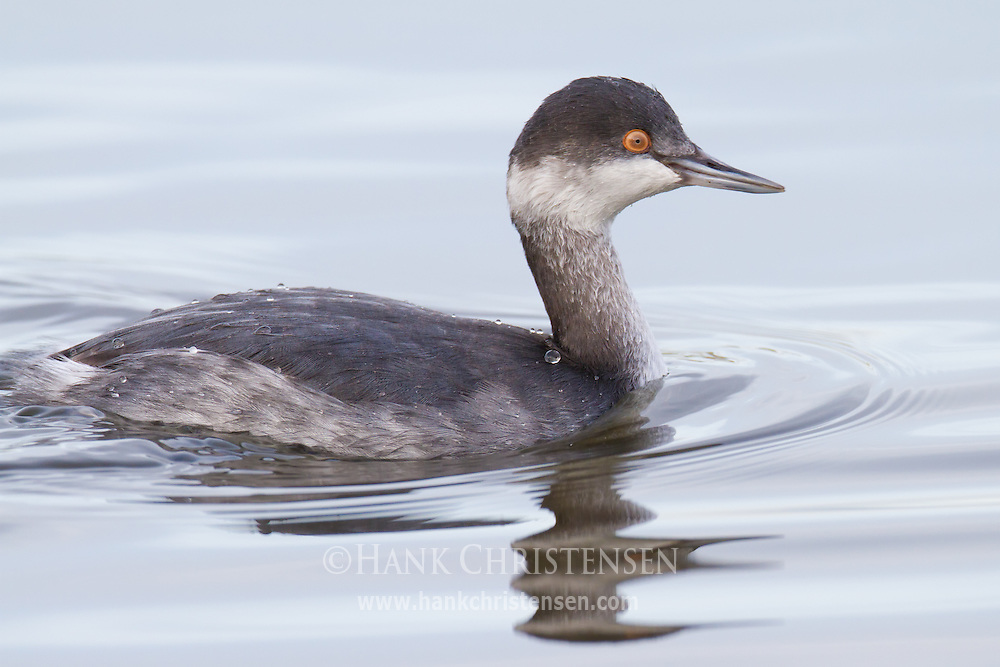 An eared grebe in winter plumage swims through the water in between dives