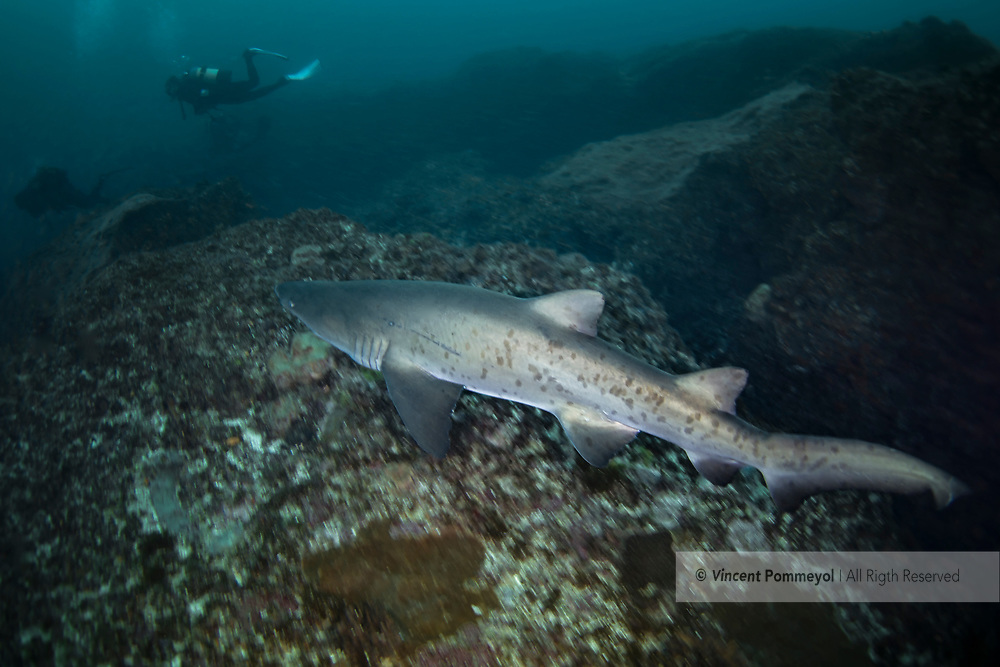 """The Sand tiger shark or Spotted ragged-tooth shark (Carcharias taurus) belongs to the family of «Odontaspididae». He is present in three big oceans, Red Sea and in the Mediterranean Sea. He can live more than 20 years for a maximum size of 2,80m, sometimes more of 3m. We distinguish him by a massive and lengthened body, the sides are grey-brown and the white stomach. His snout and of conical shape. He has two wide dorsal fins with almost equal size. His mouth is furnished with three rows of functional teeth disentangled in the shape of canine. Wide spots can cover the whole body and disappear when it reaches its sexual maturity. He possesses the peculiarity than to gulp down of the on-surface air to compensate its buoyancy because he has no swim bladder. The shark-bull is an ovoviviparous species. One of its peculiarities is also called intra-uterine cannibalism «oophagie». The gestation is of 9 months for one small only one.The Sand tiger shark is put in danger by its intensive, commercial and sports fishing. He is classified """"Vulnerable"""" by the red list of the UICN."""
