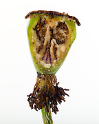 Poppy Pop, also call seed pod, also called ovary.  See also non-cross-section showing ovary and seeds