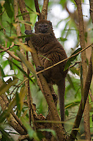 Alaotran Gentle Lemur / Bamboo Lemur (hapalemur griseus alaotrensis). Madagascar Image by Andres Morya