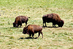 26 August 2008:  Bison or Buffalo grazing on prairie grass. (Photo by Alan Look)