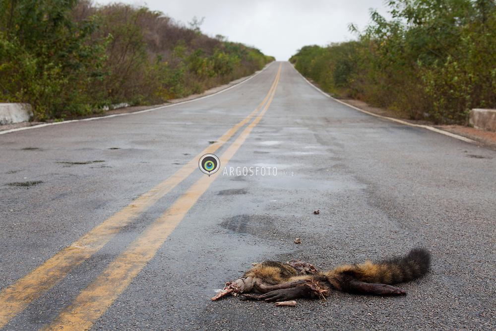 Atropelamento de animal (Mao-pelada)na rodovia PE-507, entre Serrita e Moreilandia, em Pernambuco. / Dead animal (Raccoon) on the highway in Pernambuco State, in Brazil.