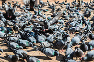 Flocks of pigeons feed on the ground next to the Boudhanath stupa in Kathmandu, Nepal.