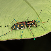 Cicindela aurulenta, common name Blue-spotted or Golden-spotted tiger beetle, is a beetle of the Carabidae family.