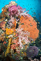 Demoiselles swarm around vibrant Soft Corals<br /> <br /> Shot in Indonesia