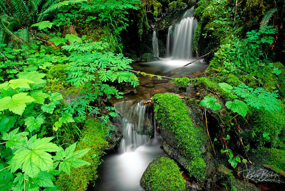 Lush groundcover and creek along the east fork of the Quinault River, Quinault Rain Forest, Olympic National Park, Washington USA