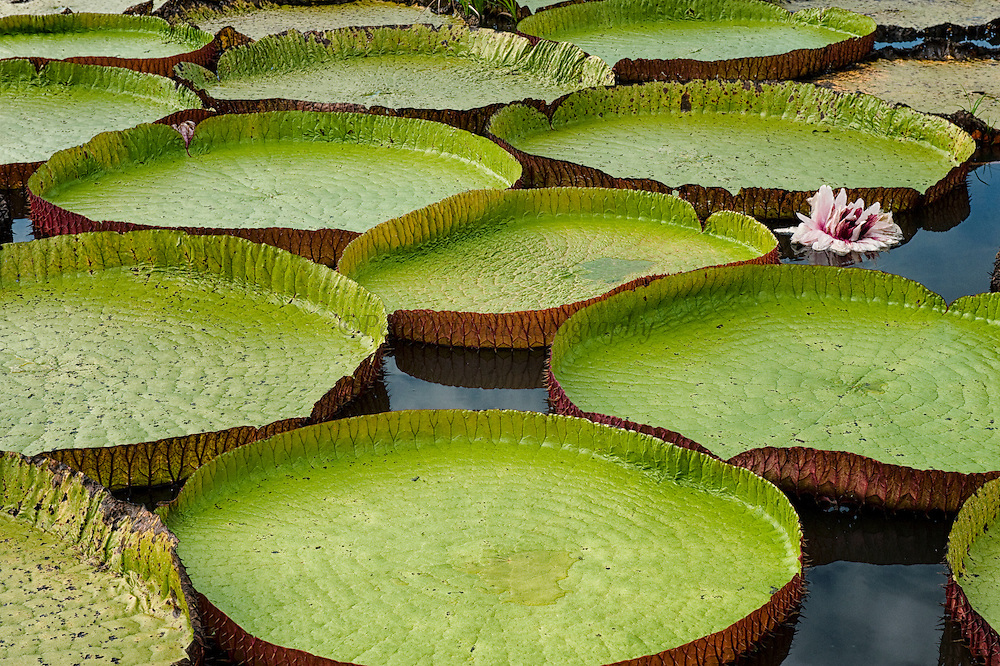 https://ssl.c.photoshelter.com/img-get2/I0000Yq1qFGBdoXk/fit=1000x750/1SA1929-Giant-Amazon-Water-Lily.jpg Giant Amazon Water Lily
