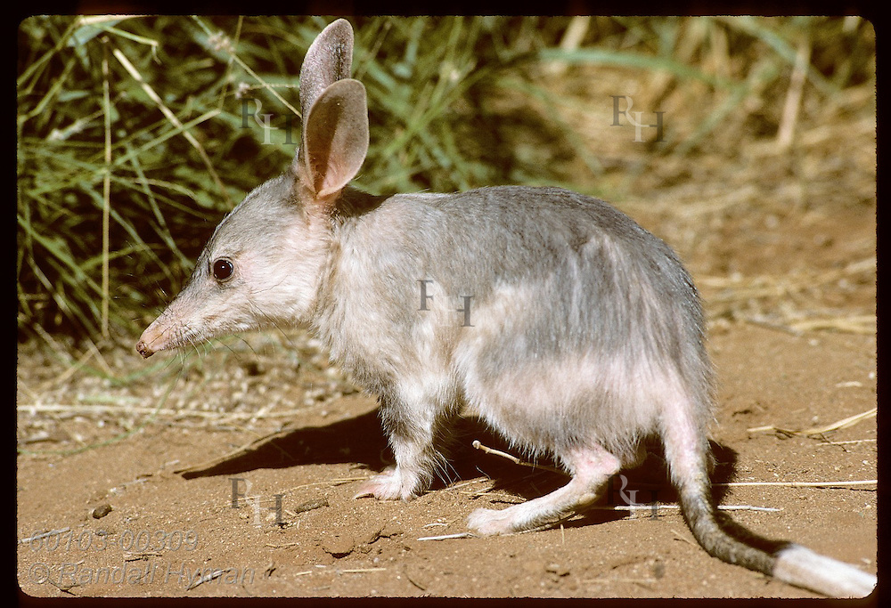 Rabbit-eared bandicoot, or bilby, pauses near grass in its pen at Conserv Commssn of NT/Alice Sprg Australia
