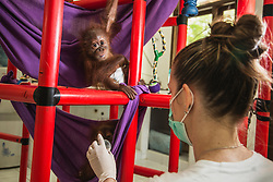 A caregiver in a quarantine center for orphaned orangutans feeds a newly arrived infant Sumatran orangutan (Pongo abelii) that was rescued from illegal pet traders after its mother was killed, Medan, Sumatra, Indonesia