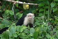 """El mono carablanca, maicero cariblanco, capuchino, tanque, machín, caurara o carita blanca1 (Cebus capucinus) es un mono del nuevo mundo de tamaño medio perteneciente a la familia Cebidae.<br /> <br /> Es nativo de los bosques de América Central y de la parte más noroccidental de Sudamérica y muy valioso por su papel como dispersador de semillas y polen. En los últimos años se ha convertido en una especie muy popular en Norteamérica.<br /> <br /> Es un mono de tamaño mediano, que alcanza en peso hasta 3.9 kg (1500 - 4000 g). Son casi completamente negros, pero tienen cara rosada y pelo blanco en gran parte del frente de su cuerpo, por eso se les llama comúnmente """"cariblancos"""".<br /> <br /> En su hábitat natural es muy versátil, adaptándose a varios tipos de bosques y consumiendo muchos tipos de comida que incluyen frutas, diferentes vegetales, invertebrados y pequeños vertebrados. Viven en grupos que incluyen machos y hembras y que pueden exceder los 20 individuos. Se ha documentado que esta especie es capaz de recurrir a la creación y uso de herramientas como armas o instrumentos para obtener comida.<br /> <br /> En Panama se pueden encontrar ocho diferentes especies de primates, de los cuales varios son considerados endémicos. <br /> <br /> ©Alejandro Balaguer/ Fundacion Albatros Media"""