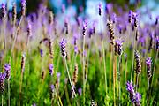 flowering garden. Purple blooming flowers