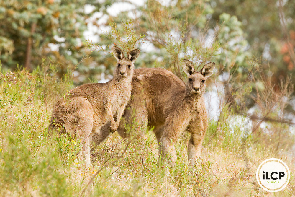 Eastern Grey Kangaroo (Macropus giganteus) female and male in scrubland, Mount Taylor Nature Reserve, Canberra, Australian Capital Territory, Australia