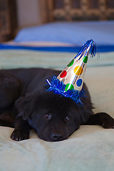 Dog wearing a birthday party hat