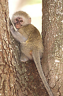 Vervet Monkey (Cercopithecus aethiops)<br /> SOUTH AFRICA: Mpumalanga Province<br /> Kruger National Park; near Satara Camp area<br /> 13-15.Jan.2006<br /> J.C. Abbott #2222