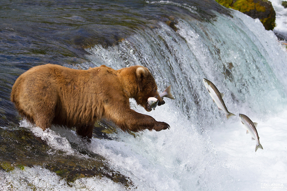 A brown bear catches a leaping fish out of the air at Brooks Falls in Katmai National Park.