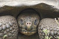 Endemic Galapagos Giant Tortoise, Geochelone nigrita at Rancho El Manzanillo giant tortoise area on Santa Cruz Island on the Galapagos Islands, Ecuador.