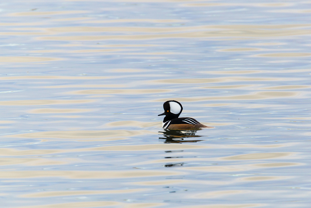 This is a picture of a Hooded Merganser swimming in a lake.<br />