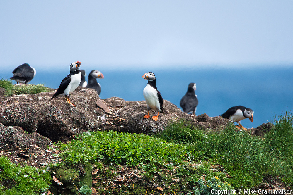 Atlantic puffins (Fratercula arctica) on ledge of cliff on the north Atlantic ocean. It is the official bird of Newfoundland and Labrador since 1992., Elliston, Newfoundland & Labrador, Canada