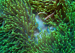 A pair of Pink Anemonefish guard their home on The Wall at Mermaid Reef.