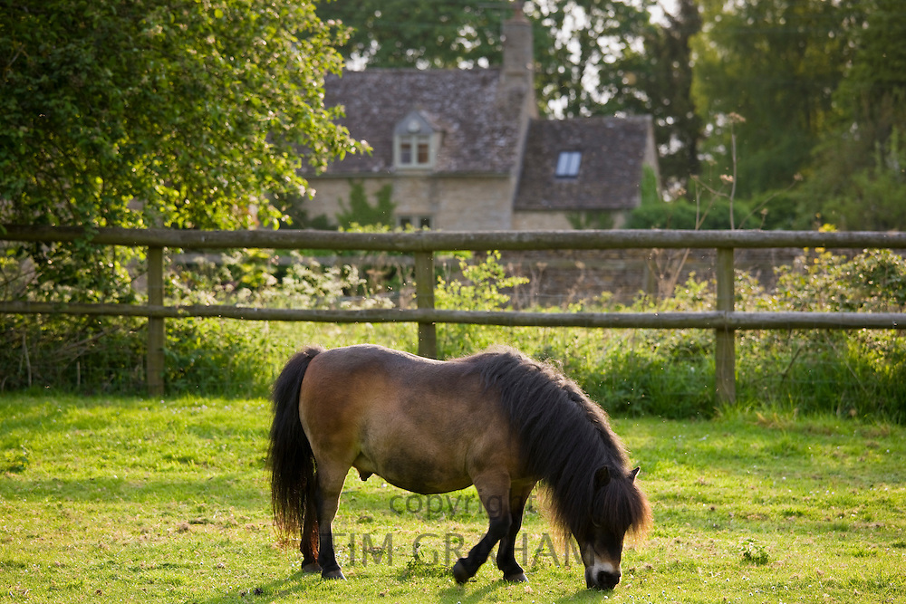 Shetland bay pony grazing in paddock in Kelmscott, The Cotswolds, Gloucestershire, England