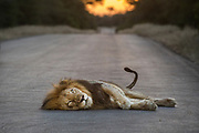 A male lion lays in the middle of the tar road.  Kruger National Park, South Africa