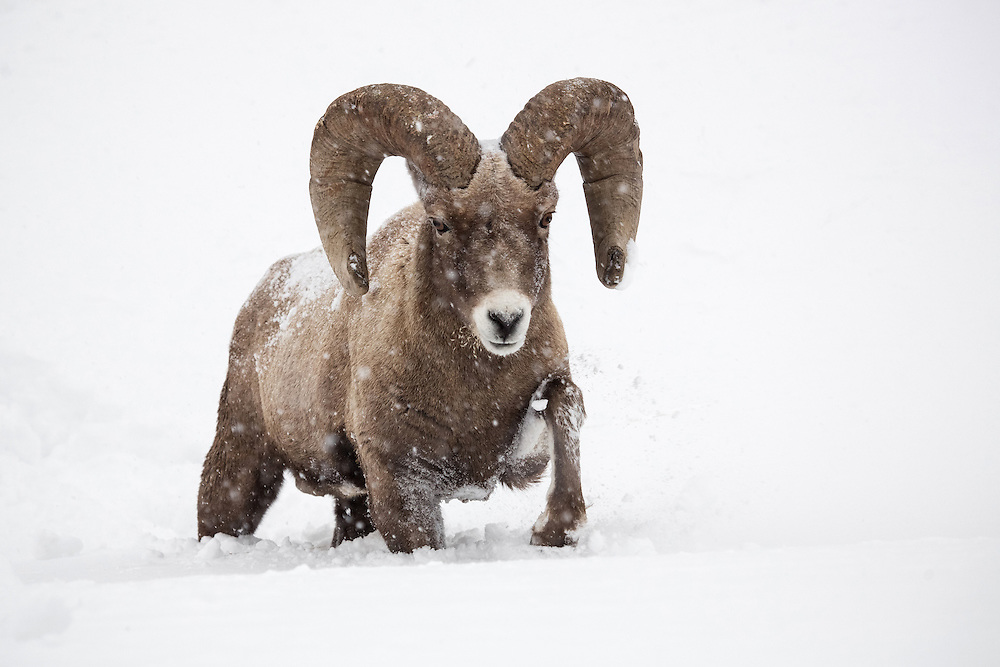 Seemingly impervious to cold, bighorn sheep brave the weather no matter what the conditions. In this instance, a large ram maneuvers through a snowdrift after spending the night on the safety of the cliffs.