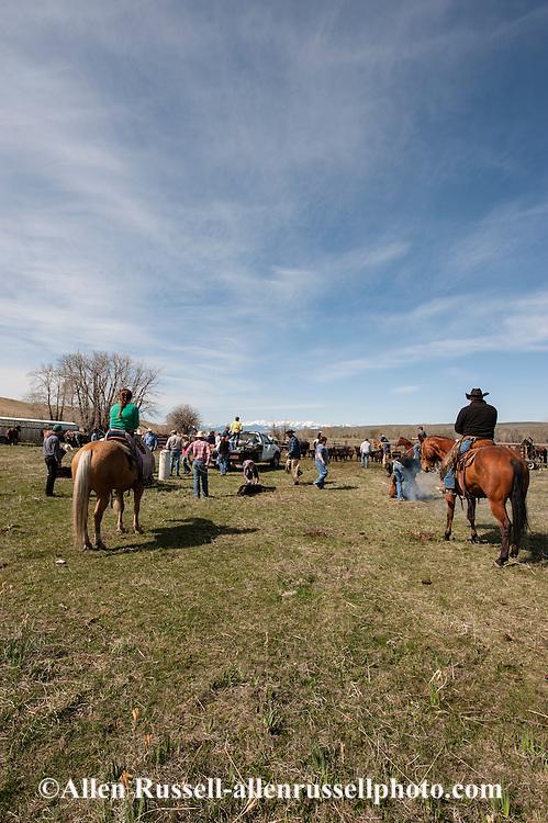 Cowboys, dragging calves to the fire, branding, Lazy SR Ranch, Wilsall, Montana, Randy Jackson, Jessie Sarrazin