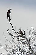 Female Osprey and juvenile perched on bare branches of tree, Daintree River, Queensland, Australia