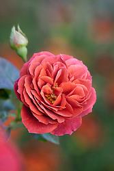 Rosa 'Brown Velvet' syn 'Maccultra'