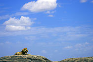 Lone male African Lion (Panthera leo) resting on large boulder underneath polarized sky with white puffy clouds, Serengeti, Tanzania.