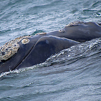 Alberto Carrera, Southern Right Whale, Eubalaena australis, Gansbaai, Western Cape, South Africa, Africa