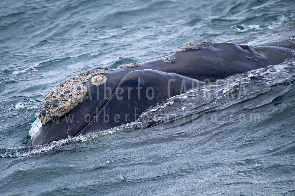 Alberto Carrera, Southern Right Whale, Eubalaena australis, Gansbaai, Western Cape, South Africa, Africa