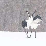 This is a pair of mature Japanese cranes (Grus japonensis) engaged in a pair-bonding display during a snowstorm in Hokkaido, Japan. This species is found in Siberia, Northeast China, Mongolia, Korea and northern Japan. The population in northern Japan is mostly non-migratory, remaining resident on the island of Hokkaido throughout the year. This species is listed as Endangered on the IUCN Red List.