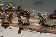 Yellow-spotted River Turtles (Podocnemis unifilis)  CAPTIVE -REARING PROGRAM FOR REINTRODUCTION TO THE WILD<br /> CITES II VULNERABLE.<br /> Orinoco River, 110 Km north of Puerto Ayacucho. Apure Province, VENEZUELA. South America. <br /> L average 40cm, Wgt 9-12kg. Convex carapace widest at mid-point. Eggs oblong 11-32 per clutch. 50-70 days incubation. Herbacious plus carrion, molluscs, crustations & fish eggs.<br /> HABITAT: Mostly in secondary tributaries of main rivers. Only to main rivers during nesting season when sand banks exposed.RANGE: Amazonia, Llanos & Orinoco of Colombia, Venezuela, Brazil, Guianas, Ecuador, Peru & Bolivia.<br /> Project from Base Camp of the Protected area of the Giant River Turtle (& Podocnemis unifilis). (Refugio de Fauna Sylvestre, Zona de Protecion de Tortuga Arrau, RFSZPTA)<br /> Ministery of Environment Camp which works in conjuction with the National Guard (Guardia Nacional) who help enforce wildlife laws and offer security to camp staff. From here the ministery co-ordinate with other local communities along the river to hand-rear turtles for the first year of their life and then release them. The ministery pays a salary to one person in each community that participates in the project as well as providing all food etc. The turtles are protected by law and there is also a ban on the use of fishing nets in the general area. During the egg laying season staff sleep on the nesting beaches to monitor the nests.  All nests layed on low lying ground are dug up and relocated to an area not likely to flood. They are then surrounded by a net to catch all hatchlings who will then spend the first year of their life in captivity to increase their chances of survival. Biometric data is taken from any female they find that has layed eggs and is returning to the river.