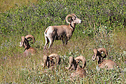 Bachelor group of Bighorn Rams bedded in open, prairie habitat