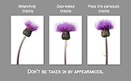 Melancholy thistle panel about mental illness
