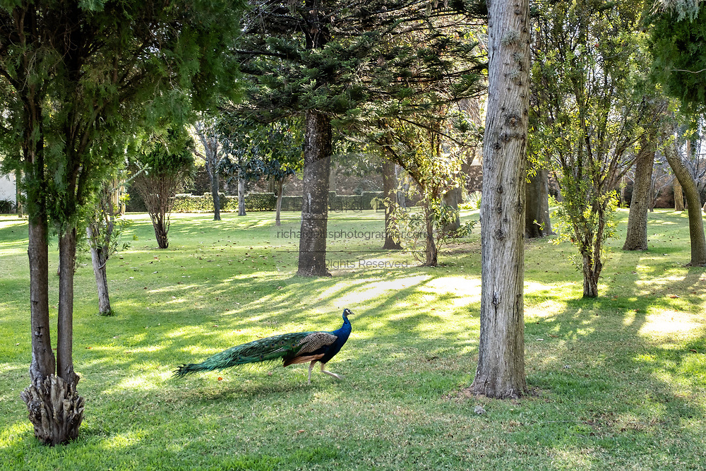 A male peacock walks through a courtyard garden at the historic Hacienda Galindo, a 16th century estate once owned by the Spanish Conquistador Hernando Cortes, in San Juan del Rio, Queretaro, Mexico. The hacienda is now a hotel and resort owned and operated by Fiesta Americana.