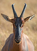 Portrait of a topi antelope (Damaliscus korrigum) photographed in Maasai Mara, Kenya.