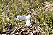 Mew Gulls (Larus canus) on nest at Potter Marsh in Southcental Alaska. Spring. Evening.