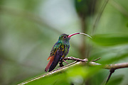 #Rufous-tailed Hummingbird, #Hummingbird